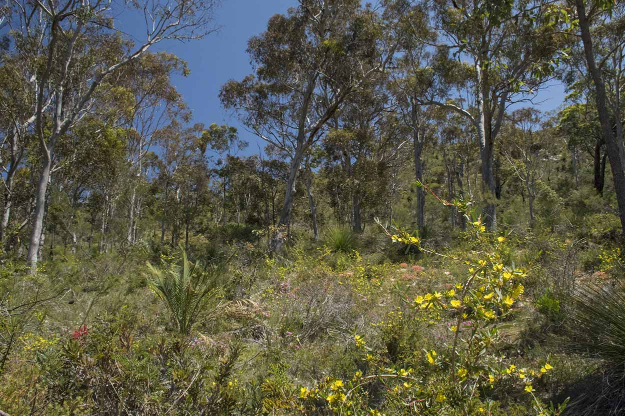 Blooming bushland on the Blue Wren Ramble Trail, Ellis Brook Valley Reserve, Perth, Western Australia
