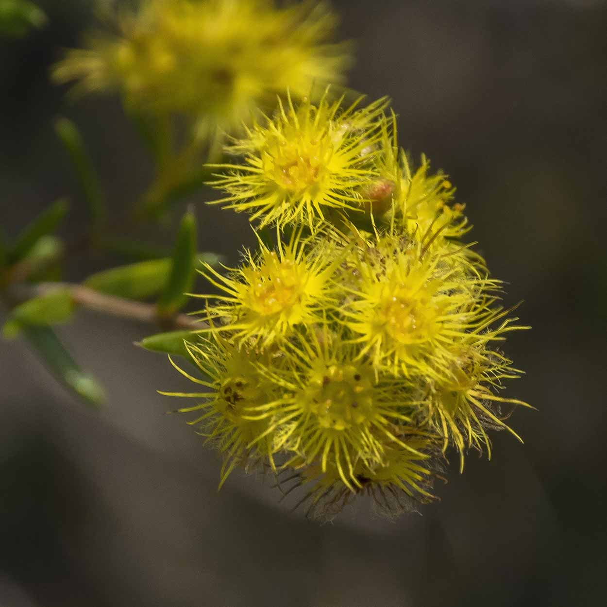 Yellow Feather Flowers on the Eagle View Trail, Ellis Brook Valley Reserve, Perth, Western Australia