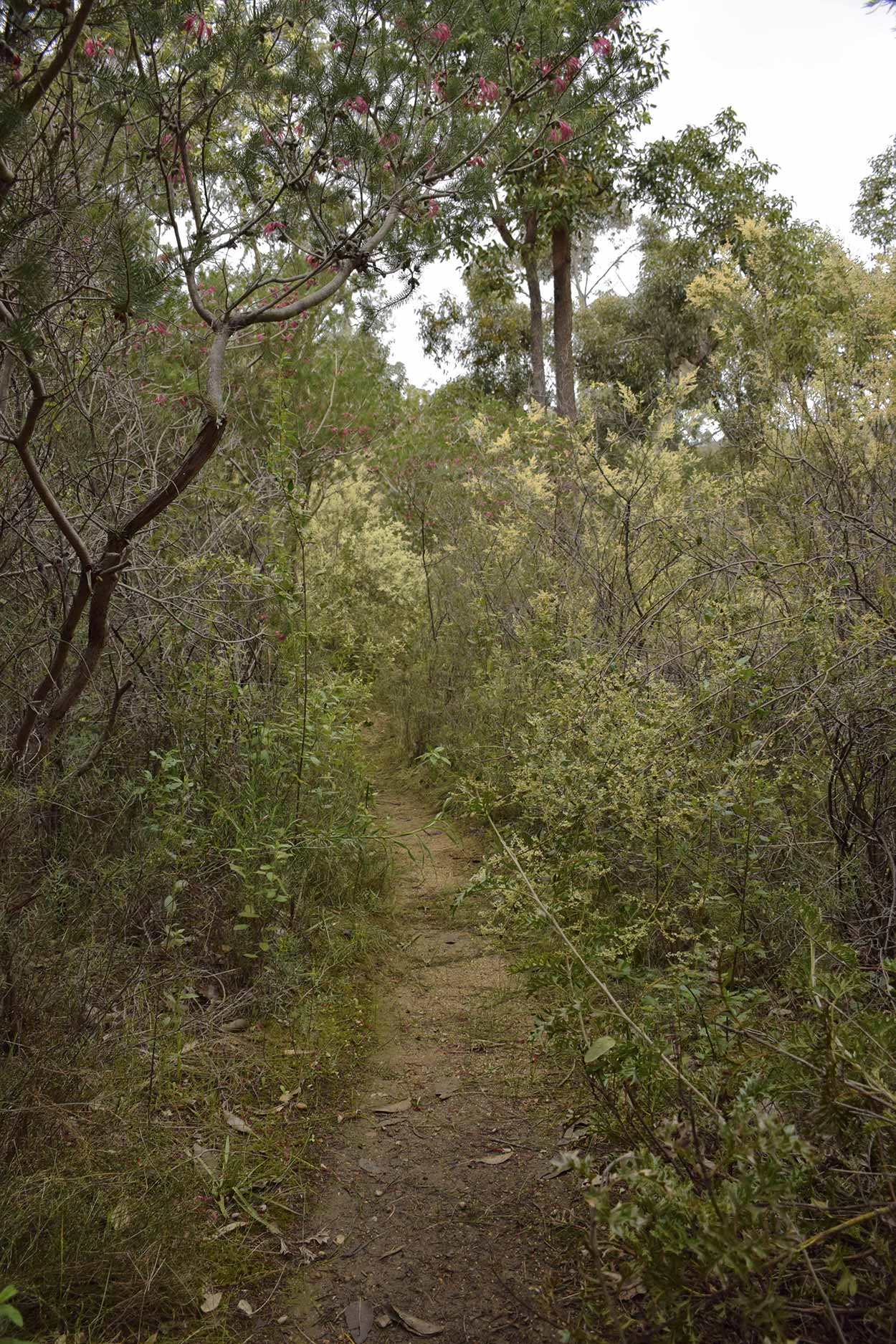Walking through the thick vegetation of the Blue Wren Ramble Trail, Ellis Brook Valley Reserve, Perth, Western Australia