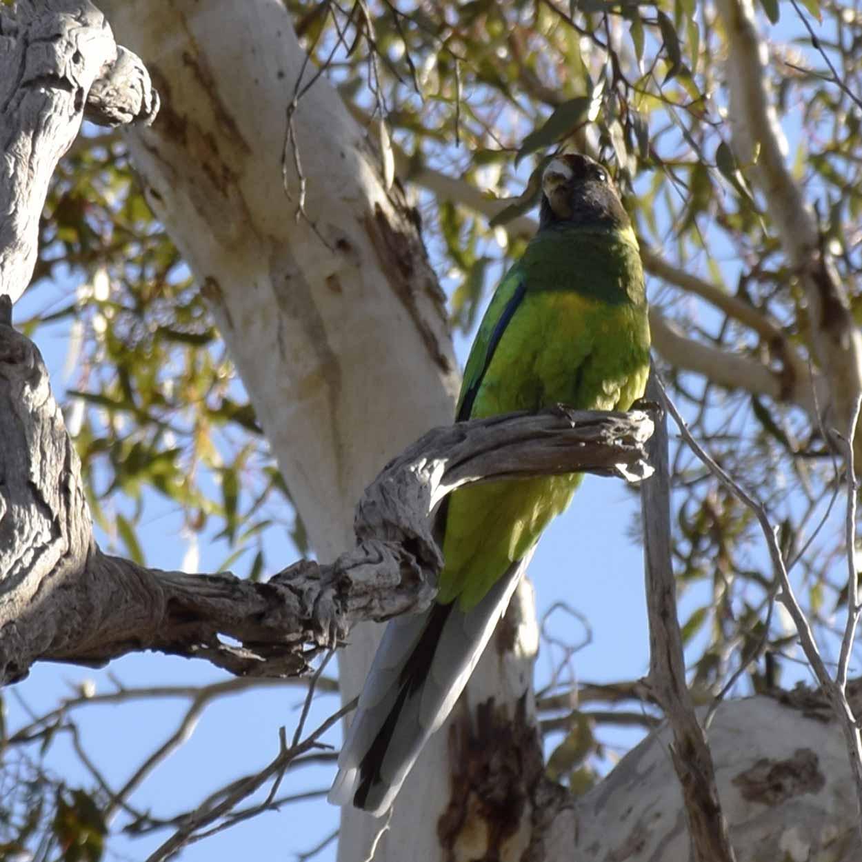 Australian Ringneck Parrot (Barnardius zonarius), Ellis Brook Valley Reserve, Perth, Western Australia