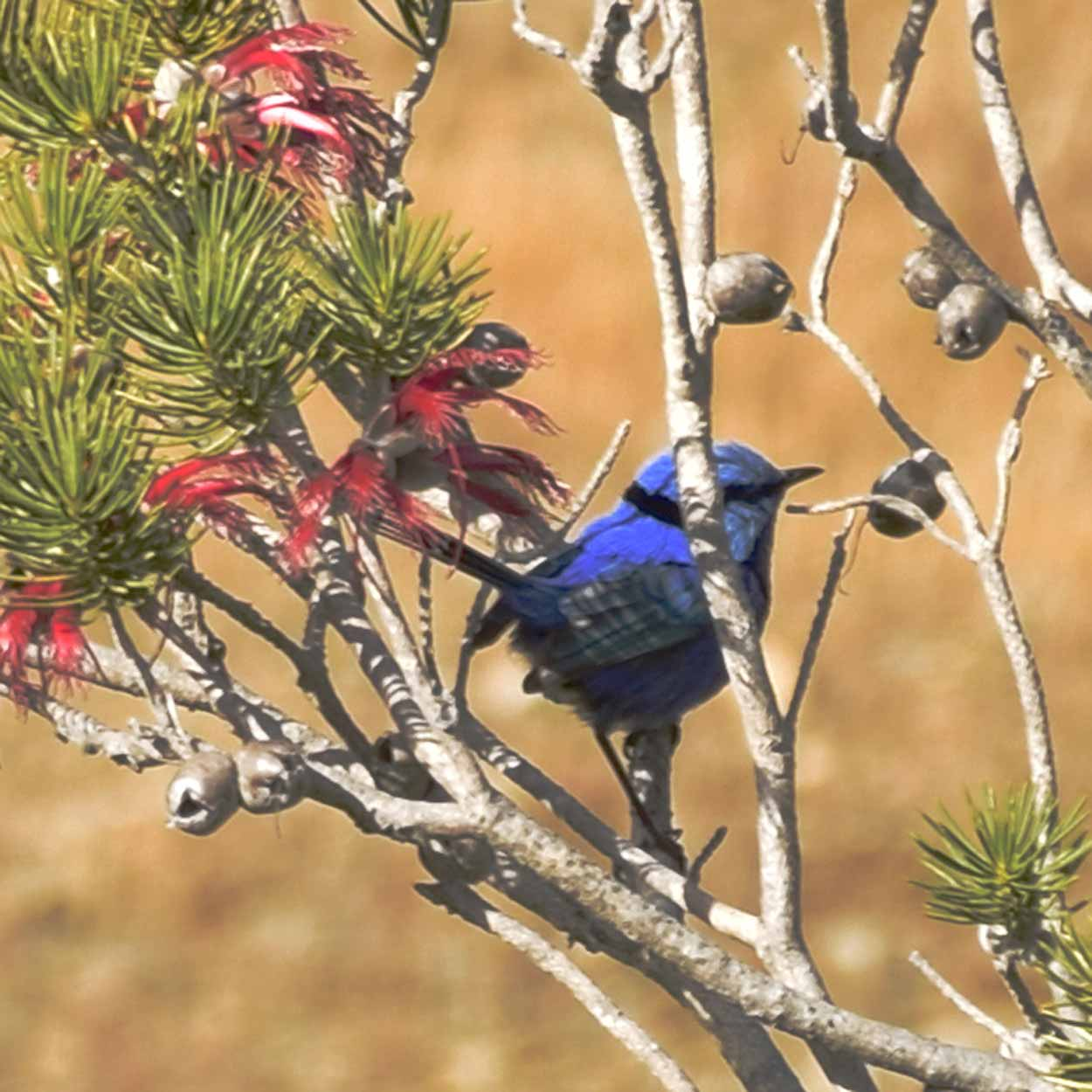 A Splendid Fairy wren hiding, Ellis Brook Valley Reserve, Perth, Western Australia