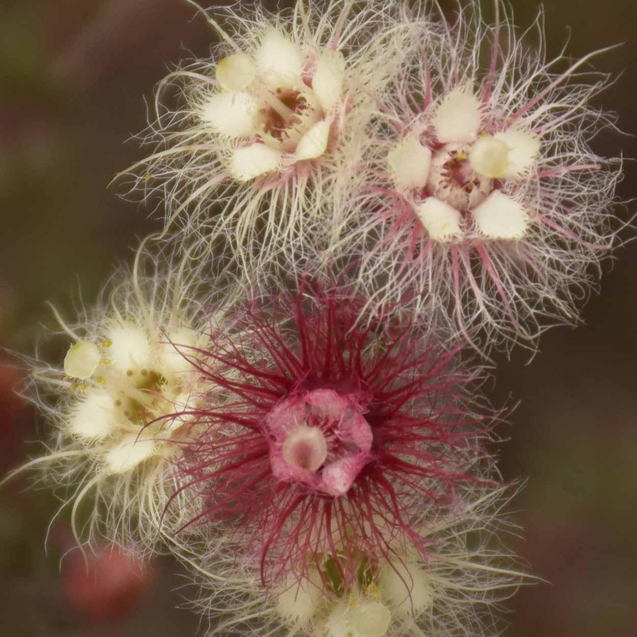 Variegated Featherflower (Verticordia huegelii) on the Eagle View Trail, Ellis Brook Valley Reserve, Perth, Western Australia