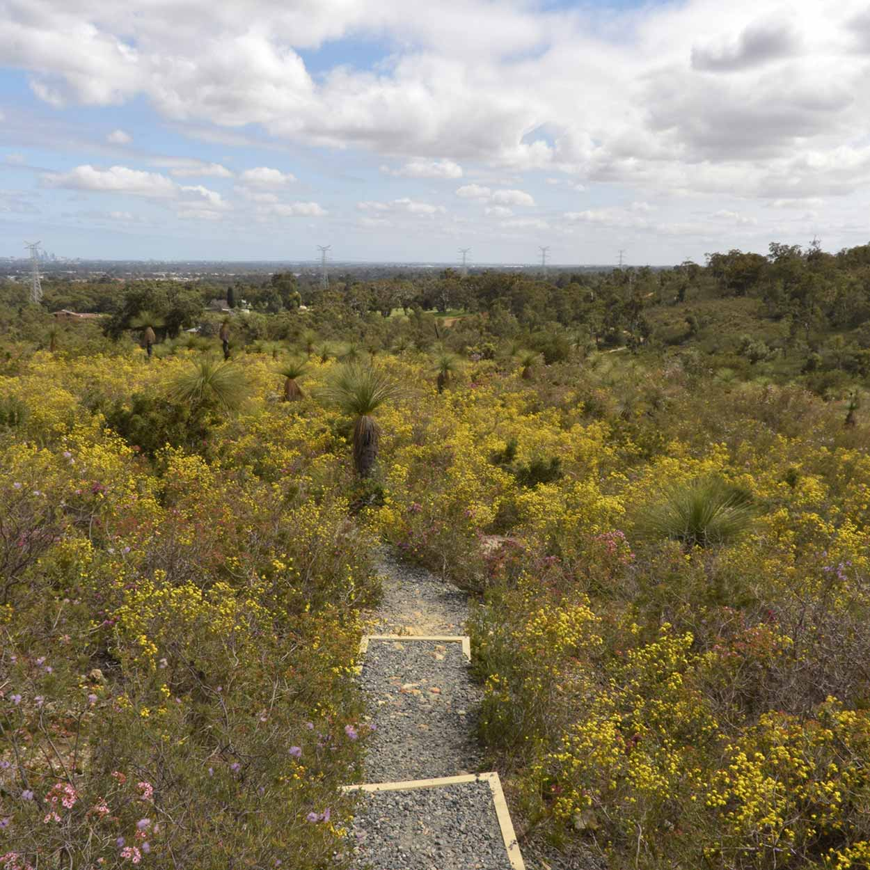 Wildflowers in bloom on the Eagle View Trail, Ellis Brook Valley Reserve, Perth, Western Australia