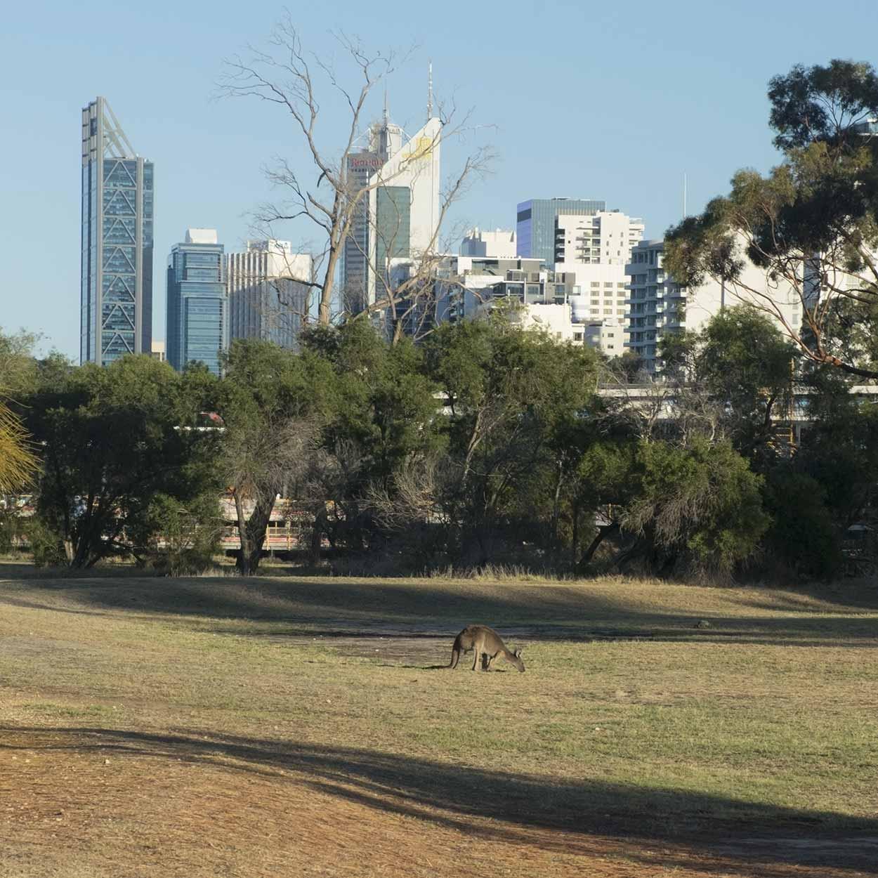 Kangaroo on Heirisson Island, Perth, Western Australia