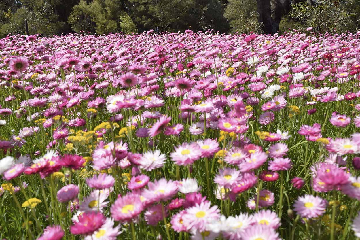 A bed of Everlastings daisies, Kings Park, Perth, Western Australia