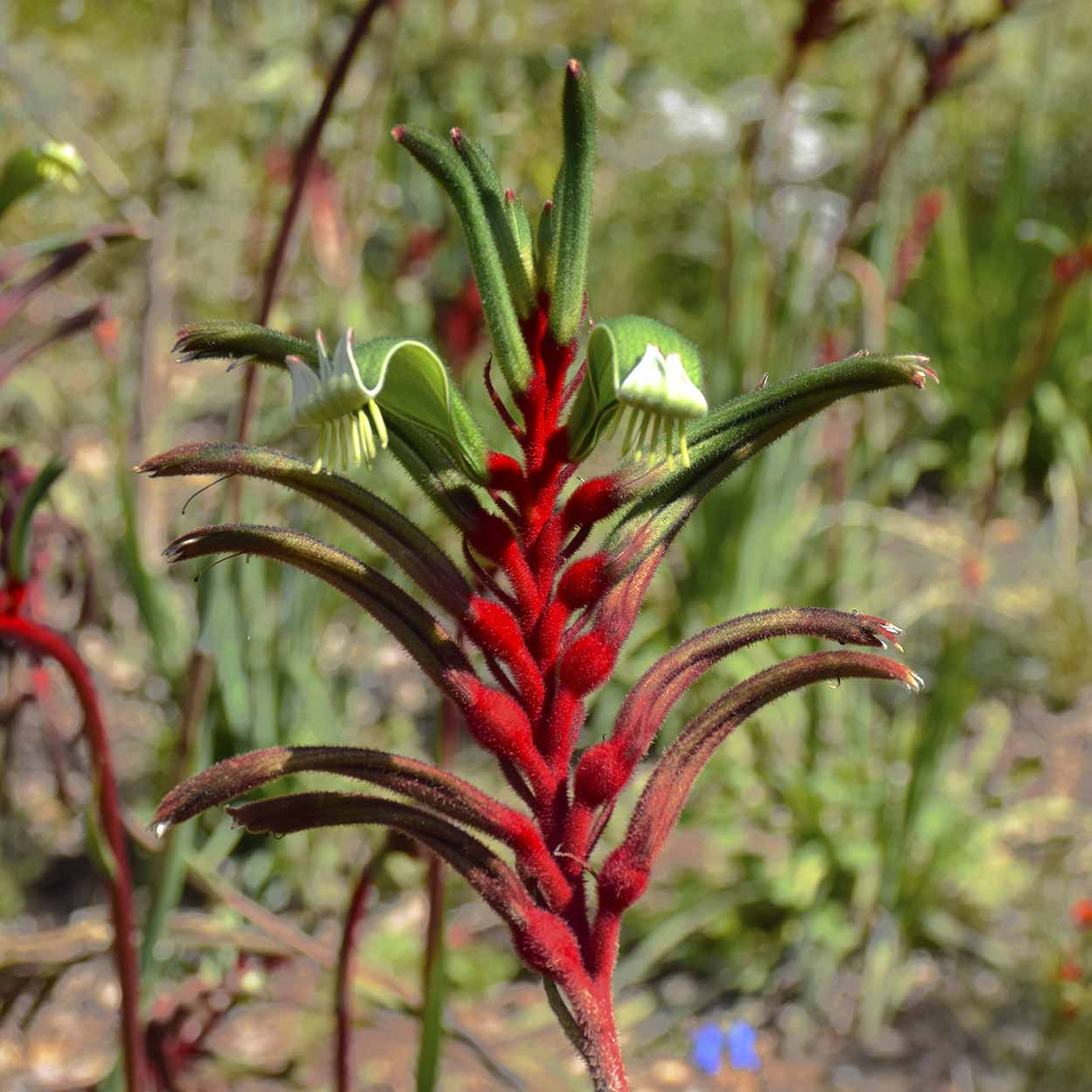 Red and Green Kangaroo Paw (Anigozanthos manglesii), Kings Park, Perth, Western Australia