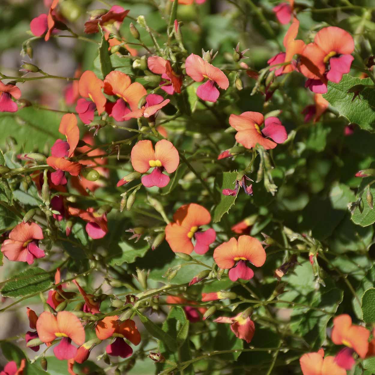 Flame Pea (Chorizema varium x ilicifolia), Kings Park, Perth, Western Australia