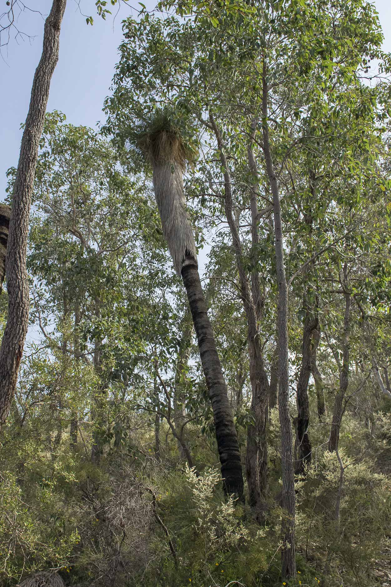 That is the tallest Grasstree I have ever seen, Korung National Park, Perth, Western Australia
