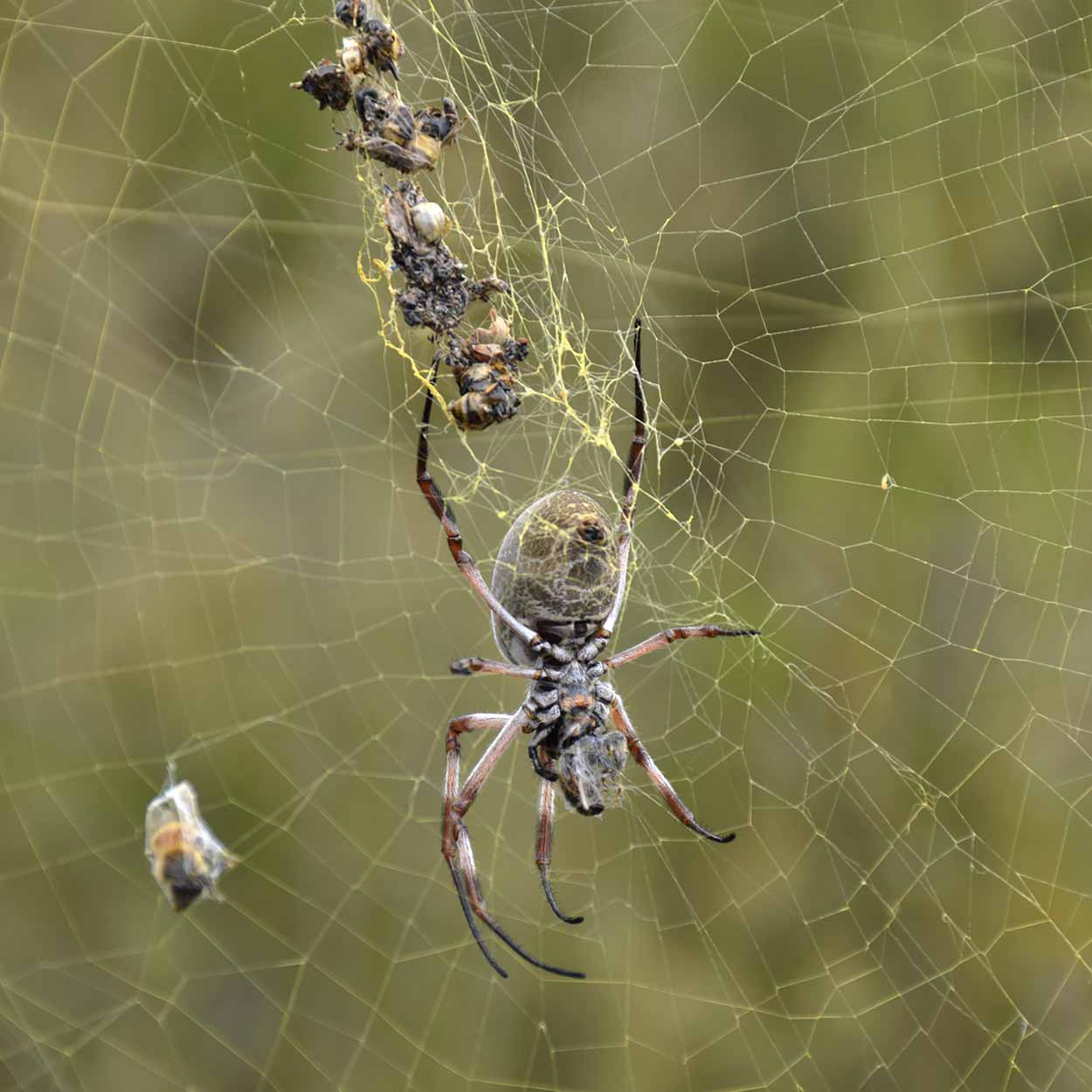 Large spider on the Valley Loop Trail, Mundy Regional Park, Perth, Western Australia