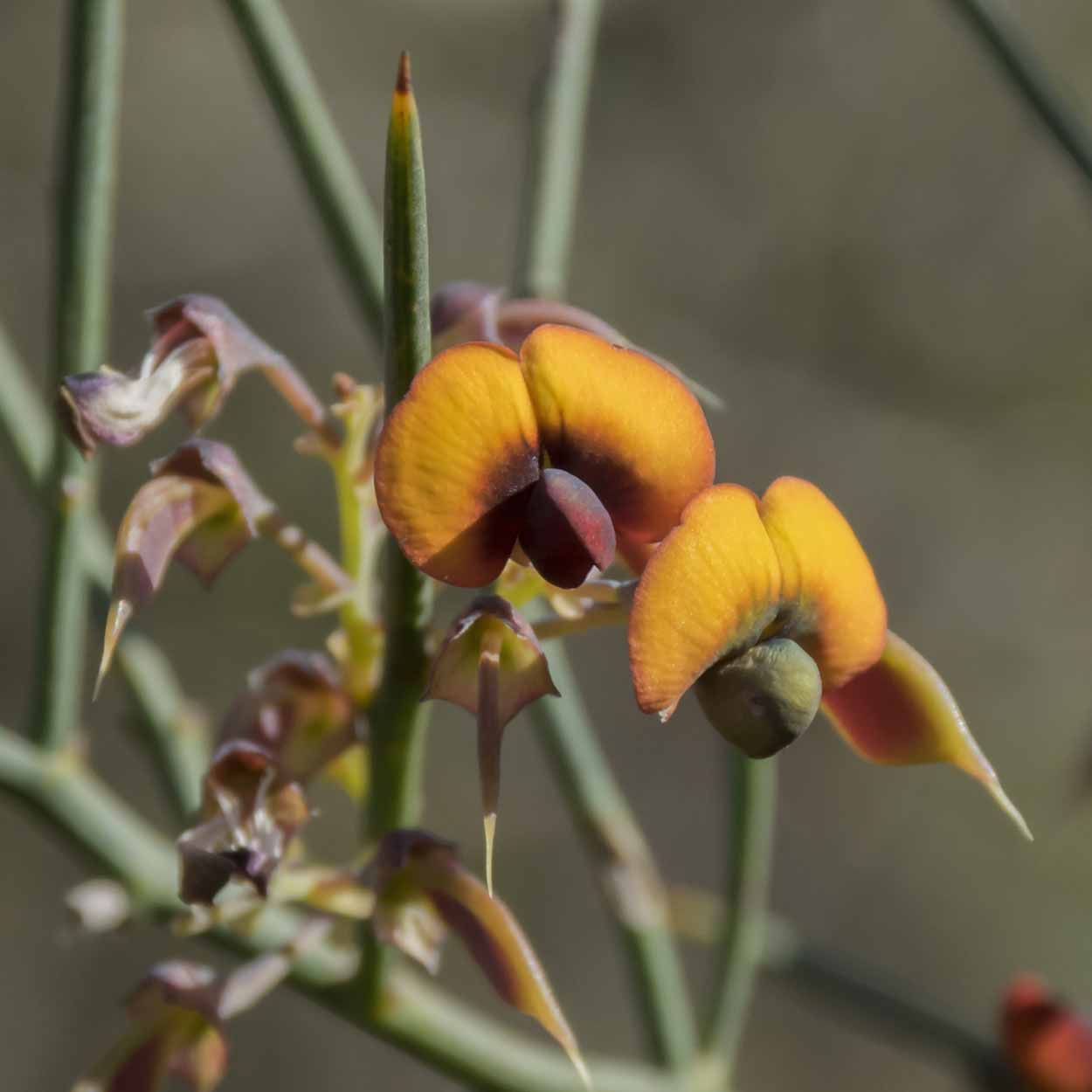 Flame Pea on the Whistlepipe Gully Walk, Mundy Regional Park, Perth, Western Australia