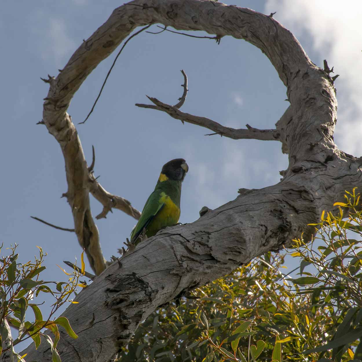 Australian Ringneck Parrot on the Lewis Road Walk, Mundy Regional Park, Perth, Western Australia
