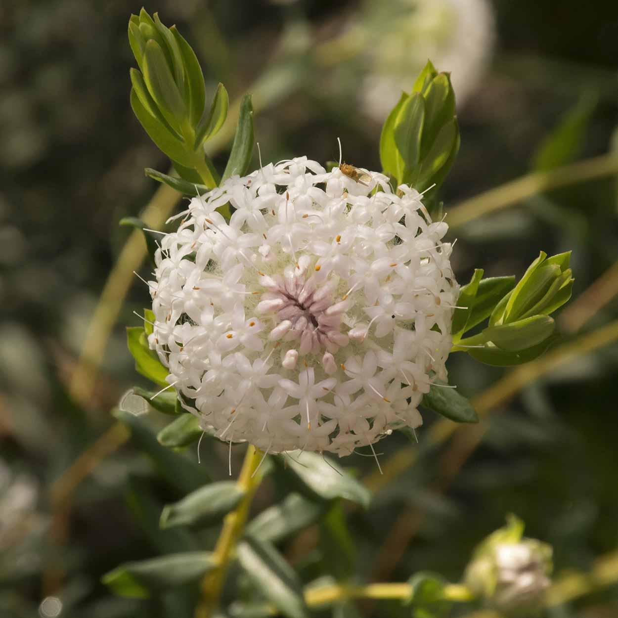 White Banjine flower on the Palm Terrace Walk, Mundy Regional Park, Perth, Western Australia