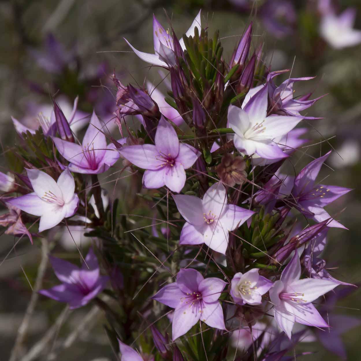 Starflowers on the Palm Terrace Walk, Mundy Regional Park, Perth, Western Australia