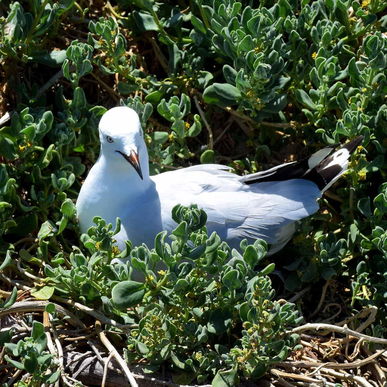 Nesting seagull, Penguin Island, Perth, Western Australia