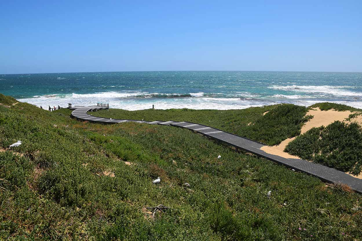 Raised walkway above the dune foliage and Seagull nests, Penguin Island, Rockingham, Perth, Western Australia