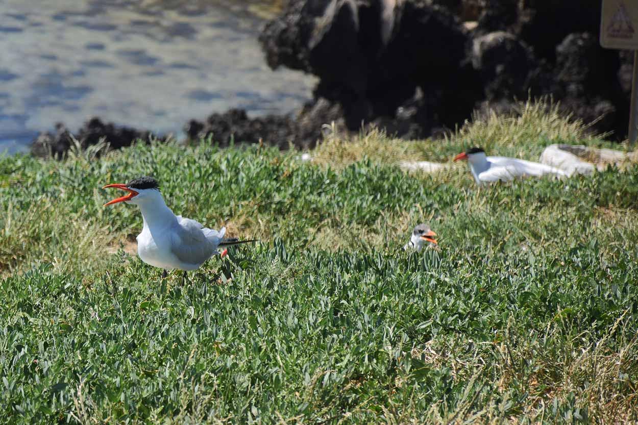Nesting Turns, Penguin Island, Perth, Western Australia
