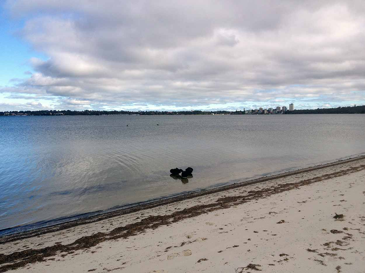 Black swans on the shores of the Swan River in South Perth,  Perth, Western Australia