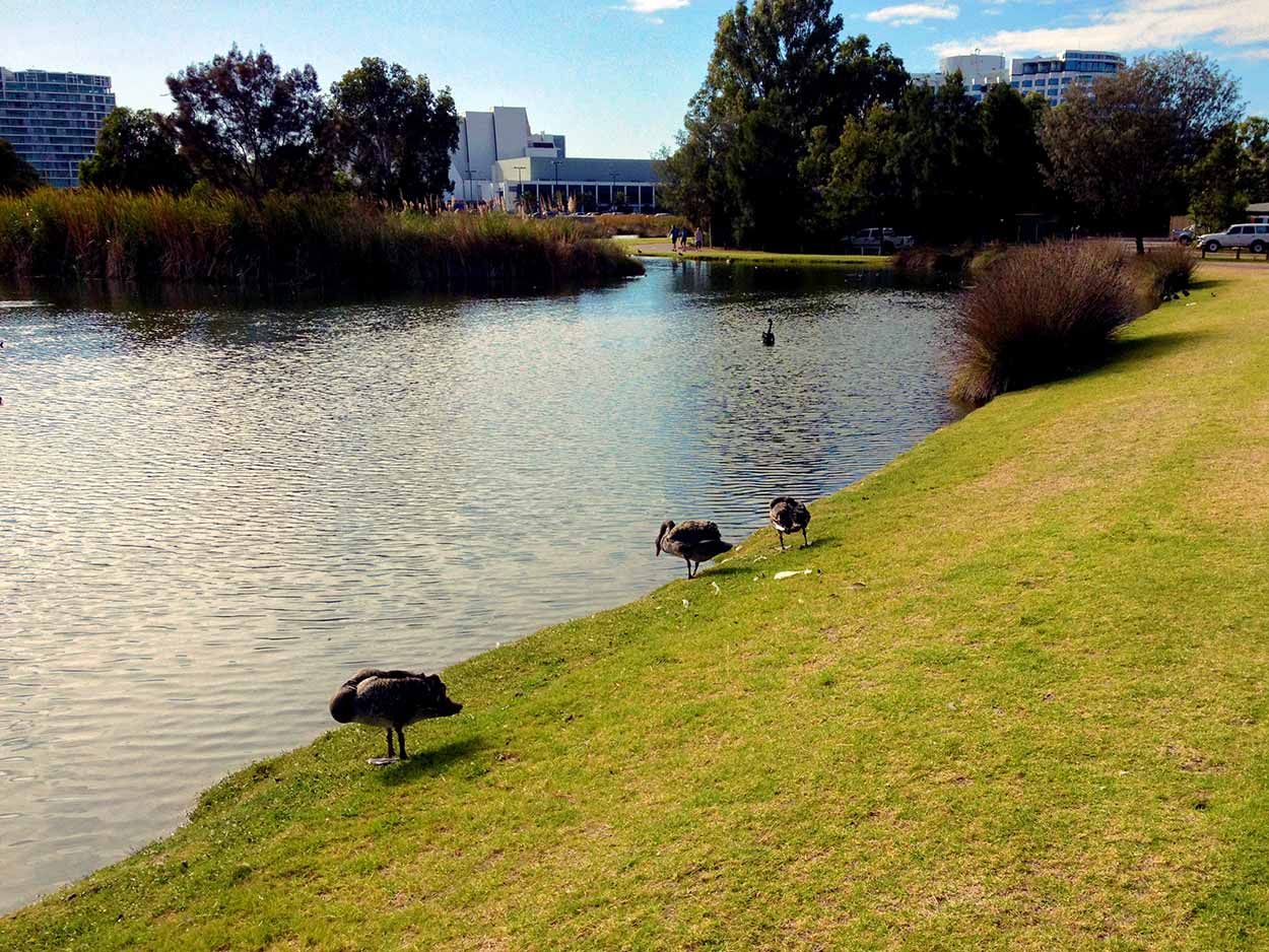 Cygnets (baby swans) on the banks of a pond within the former Burswood Park Golf Course, Perth, Western Australia