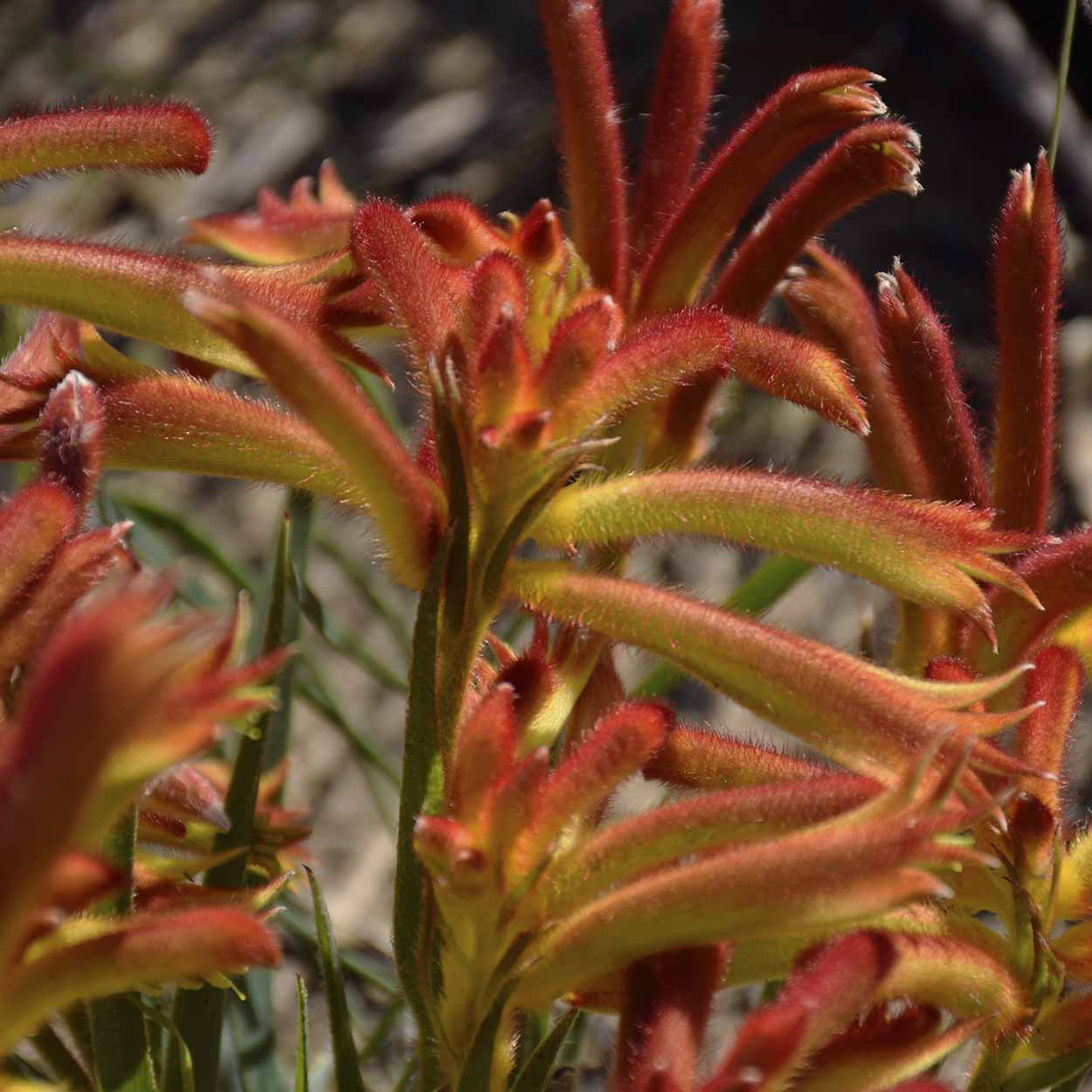 The fiery colours of the Kangaroo Paw, The Spectacles, Kwinana,Perth, Western Australia