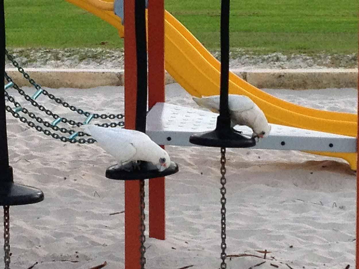 Corellas eating playground equipment, Warnbro Sound, Perth, Western Australia