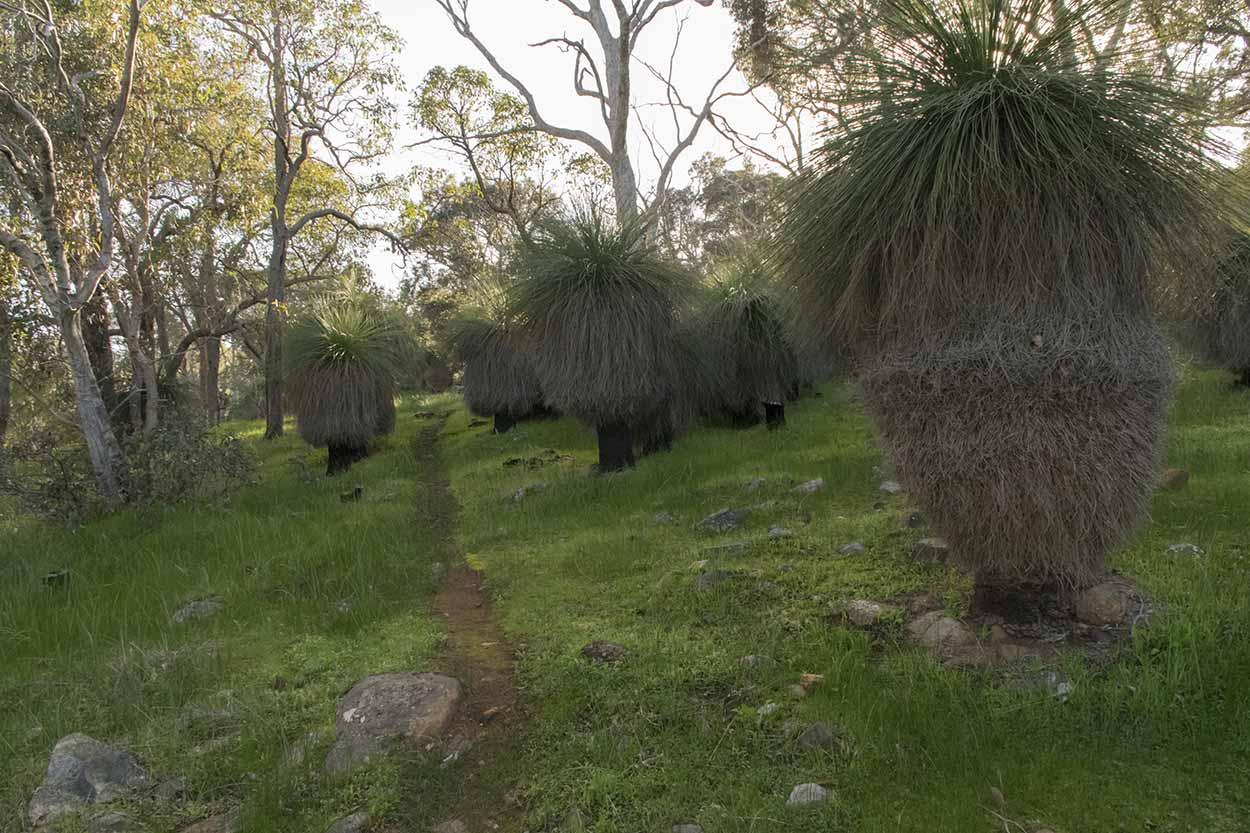 Grasstrees, Wungong Regional Park, Perth, Western Australia