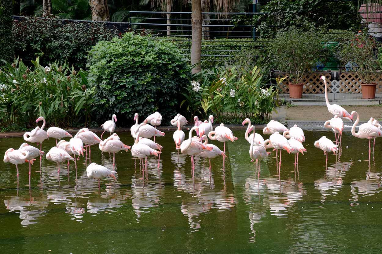 Flamingos in Bird Lake, Kowloon Park, Hong Kong, China