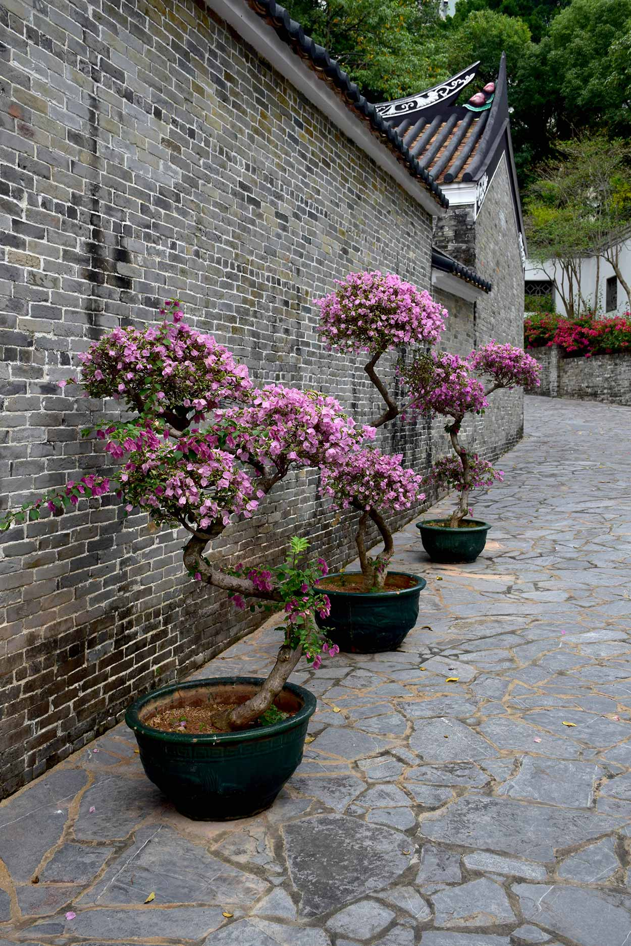 Bougainvillea on the eastern wall of the Yamen, Kowloon Walled City Park, Hong Kong, China