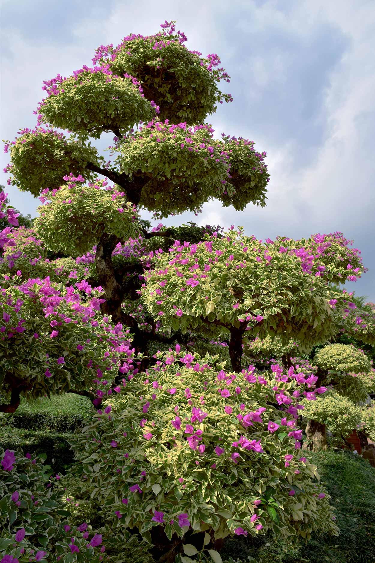 A blooming Bougainvillea, Nan Lian Garden, Hong Kong, China
