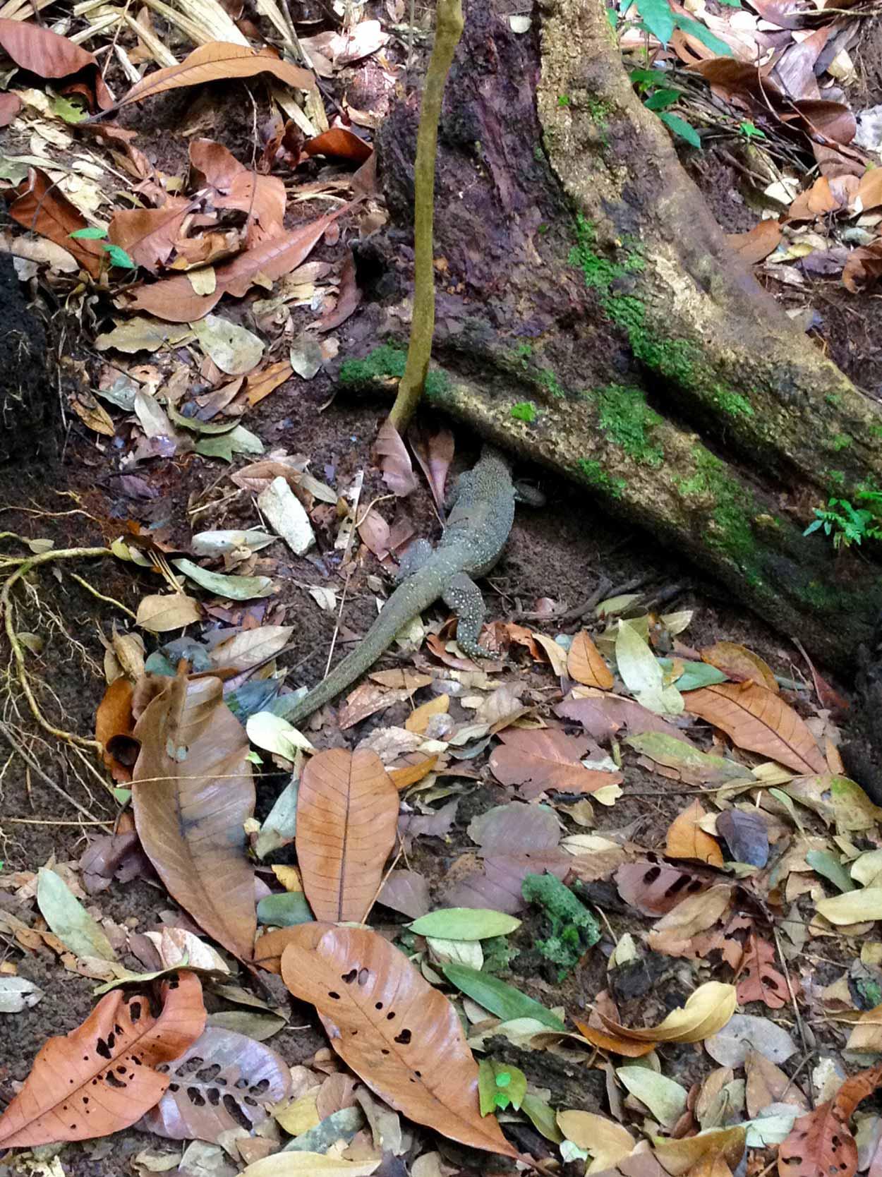 A hiding lizard, Bukit Timah, Singapore