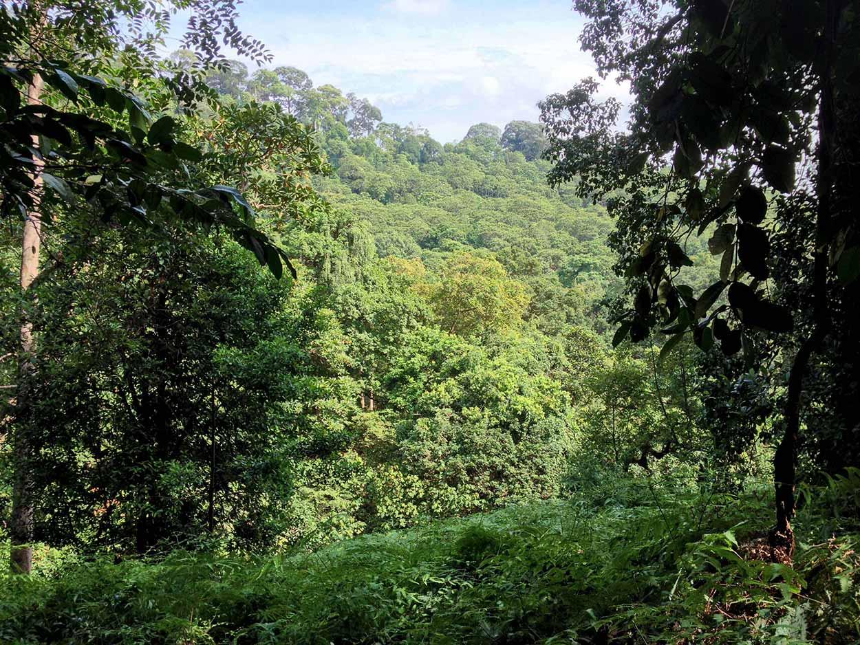 Looking beyond the dense foliage, Bukit Timah, Singapore