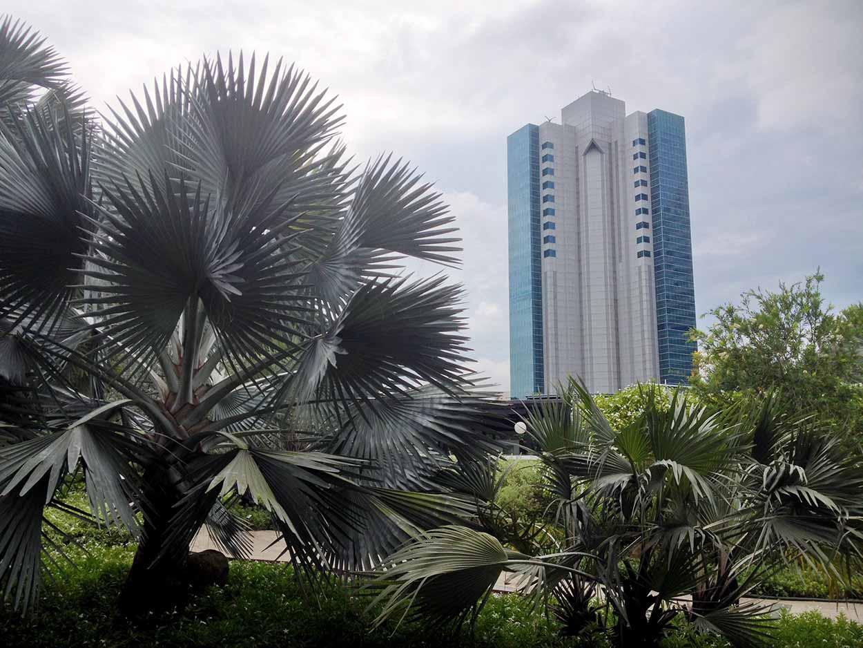 Bismarck Palms in HortPark, Southern Ridges Walk, Singapore